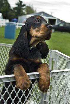 gordon setter therapy dog gordon setter puppy an amazing breed tendresse animale