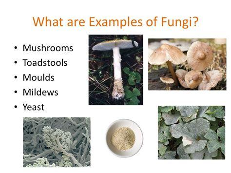 exle of fungi section 5 3 kingdom fungi pgs ppt