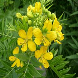 Senna Glycosides Also Search For Calcium Sennosides Herbal Extracts Phyto Chemicals