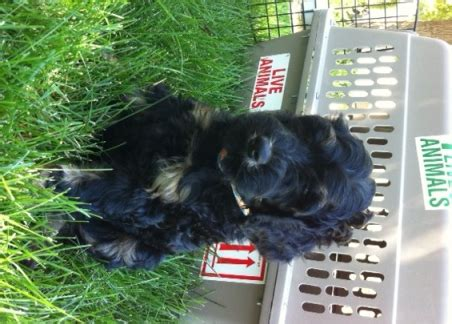 can you ship puppies australian labradoodle shipping and up labradoodles of the