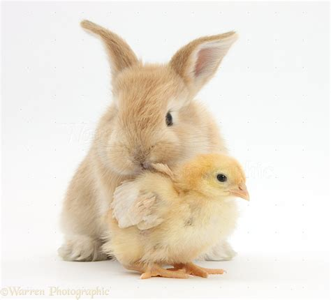 cute rabbits and chicks cute sandy bunny and yellow bantam chick photo wp38023