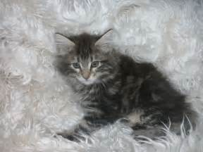 Years ago for sale cats maine coon kettering