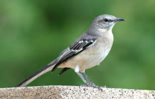 North American Backyard Birds Image Gallery Male Mockingbird
