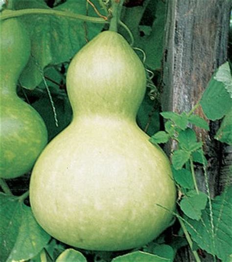Benih Biji Labu Botol Import benih labu botol bottle gourd