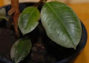 gummibaum im garten gummibaum seite 1 pflanzendoktor mein sch 246 ner garten