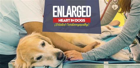 enlarged in dogs enlarged in dogs cardiomyopathy what you must