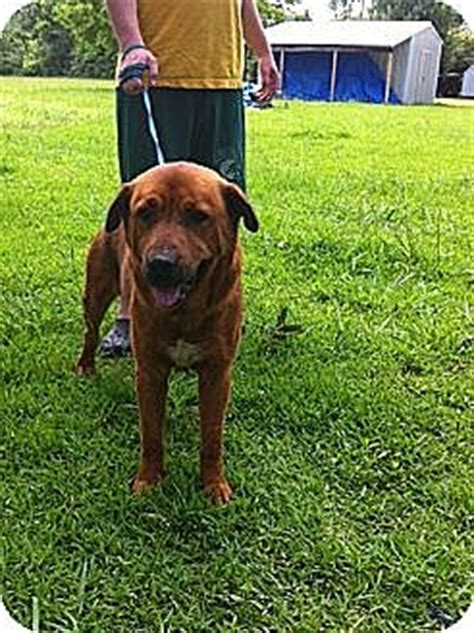 golden retriever baton baton la rottweiler golden retriever mix meet hebert a for adoption