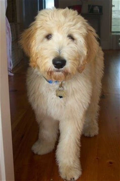 goldendoodle puppy cut best 25 goldendoodle haircuts ideas on