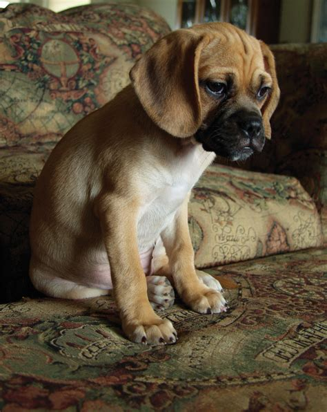 Puggle Shed by Puggle Photos Pictures Puggles Breeds Picture