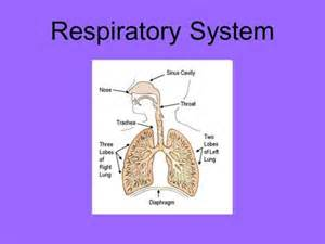 Section 37 3 The Respiratory System by The Respiratory System Chapter 13 Section 1 Why The
