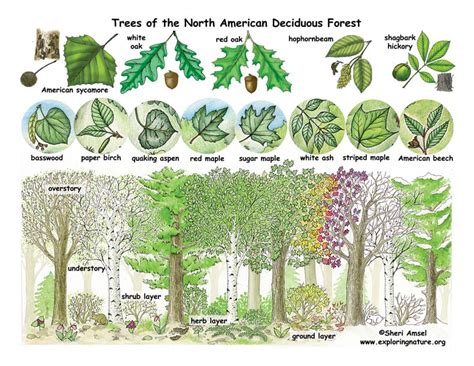 list of trees deciduous forests