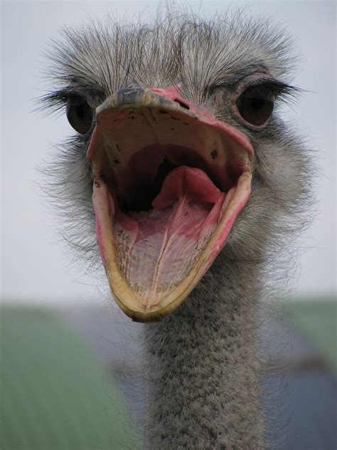 mouth open file ostrich mouth open jpg wikimedia commons