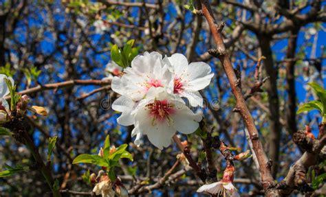 foto mandorlo in fiore ramo di mandorlo in fiore pieno immagine stock immagine