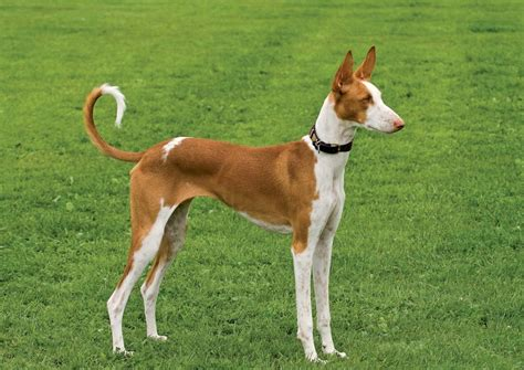 hound breeds ibizan hound breed guide learn about the ibizan hound