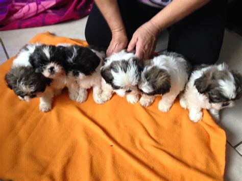 shih tzu puppies for sale swansea gorgeous shih tzu puppies swansea swansea pets4homes