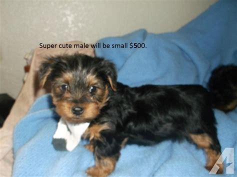 yorkie crate yorkie m 11 wks crate paper trained health warnty will be small for sale in apache
