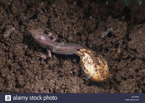 lizard out of lacerta agilis sand lizard creeping out of egg stock