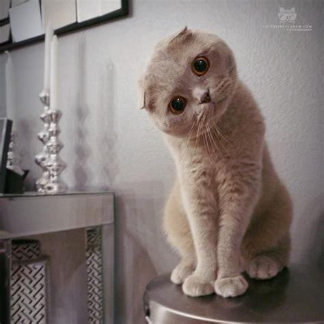 1000 images about chats sur persique cheveux