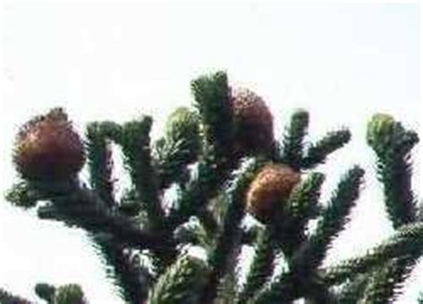 monkey puzzle tree fruit small nut trees in the home fruit and nut garden dave s