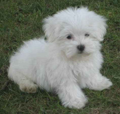 maltese puppys dogs pets maltese puppies and dogs