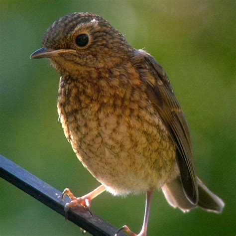 the gallery for gt juvenile robin bird