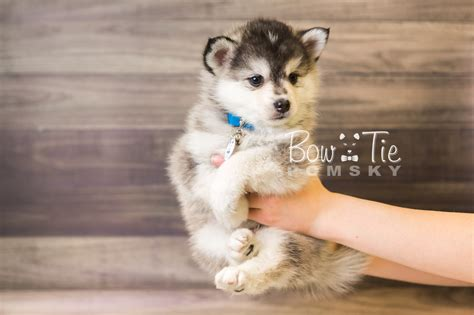 miniature pomeranian husky for sale 1st puppy 40 boy bowtie pomsky world