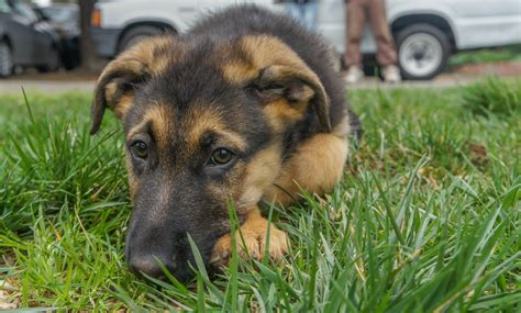 how to potty a german shepherd puppy how to potty a german shepherd puppy jpg 1001doggy