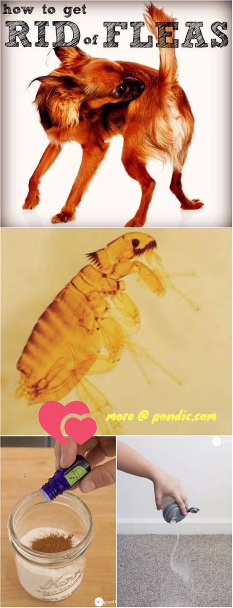 home remedies to get rid of fleas on dogs home remedies to get rid of fleas pondic