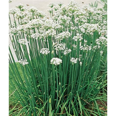 Kitchen Herb Garden Ideas proven winners garlic chives live plant herb 4 25 in