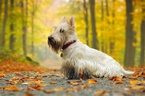 scottish terrier dog breed information temperament