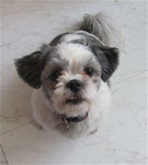 how to housebreak a shih tzu how to a shih tzu