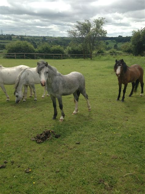section a welsh ponies for sale registered welsh section a ponies 180 pound for 2