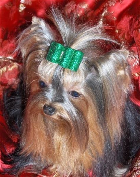 miniature yorkie rescue uk breeders add your business