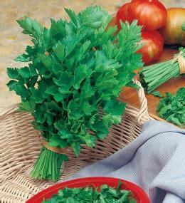 sedano verde produzione e vendita sedano verde da taglio vasta scelta