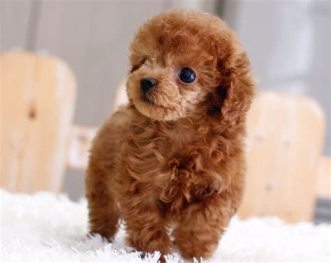 lifespan of teacup poodle miniature teacup poodle ultimate world