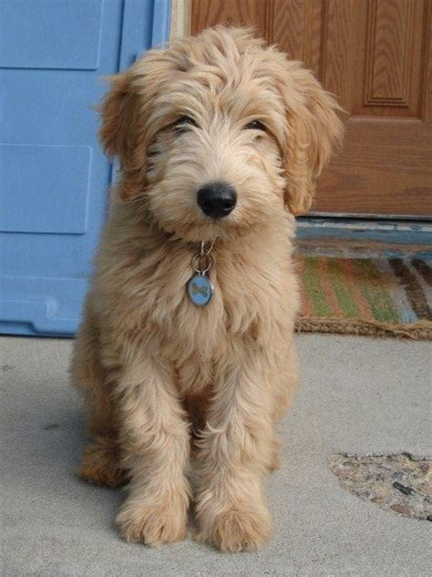 mini goldendoodle how big do they get 71 best images about wee pups on poodles