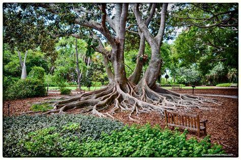 Banyan Tree On The Grounds Of The Marie Selby Botanical Botanical Gardens Sarasota Fl