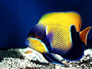 pictures of colorful fish beautiful fish