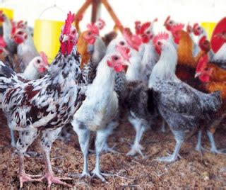 Ton Nasa Untuk Lele panduan budidaya ayam kung peternakan perikanan