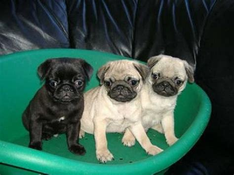 pug puppies for sale az 17 best ideas about pug puppies for sale on names for puppies pugs