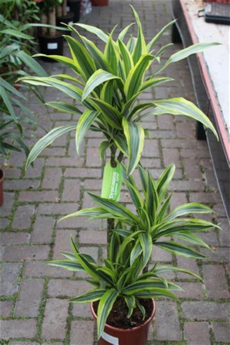 plante pour le bureau plante d int 233 rieur plante pour la maison ou le bureau