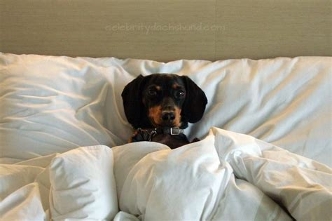 dachshund bed hot dog bed for dachshunds dog breeds picture