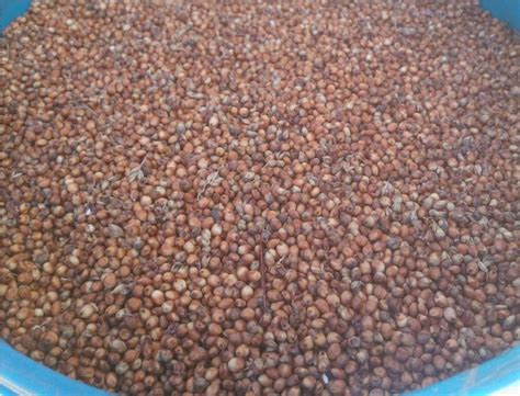 sorghum for sale grain seed sorghum for sale