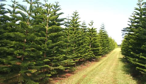 local christmas trees for sale at helemano farms hawaii