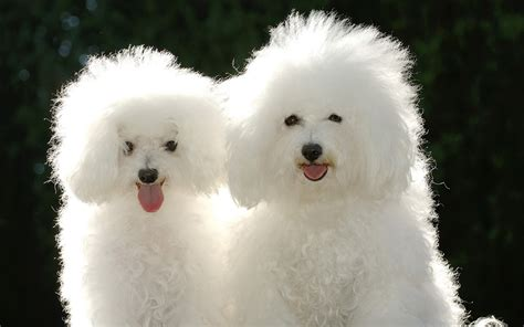 poodles puppies puppies poodle wallpapers and images wallpapers pictures photos
