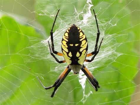 Garden Spider Uses Yellow Garden Spider Flickr Photo