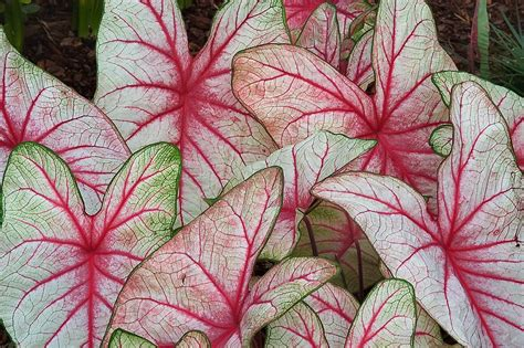caladium x hortulanum search in pictures