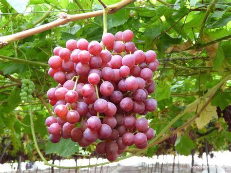imagenes de uvas con nombre fruta de hueso y uva de mesa productos el ciruelo