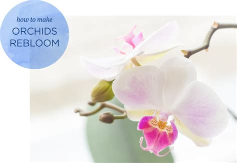 how to rebloom orchids ftd com