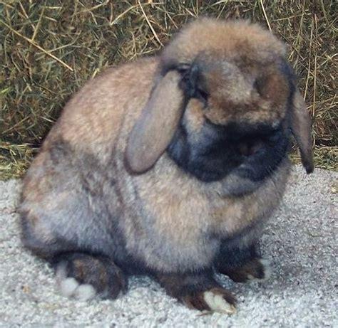 jenis kelinci hias mini gambar foto kelinci
